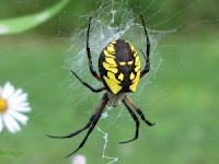 Argiope aurantia black and yellow spider