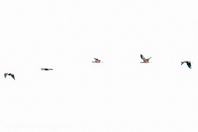 Vuelo de unas aves sobre el fondo del cielo blanco en el Parque Nacional de Doñana