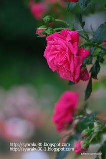 赤い薔薇の縦構図写真