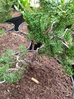 bonsai-cemara-sargenti-bagus.jpg
