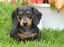 cool Dachshund dog breed