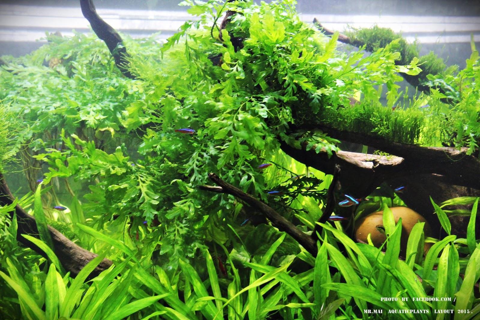 Cận cảnh cây thủy sinh dương xỉ châu phi trong bể thủy sinh