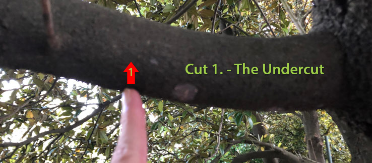 Tree compartmentalization the pruning undercut is cut number 1
