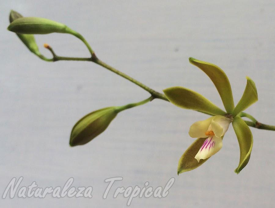 Vista de la flor de la orquídea Encyclia acutifolia en la inflorescencia