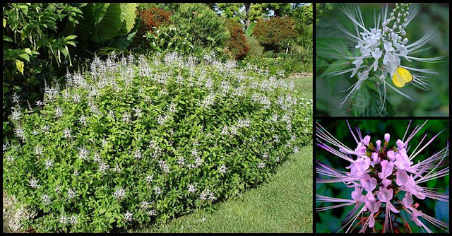 Cat's Whiskers: A Garden Plant With Numerous Health Benefits