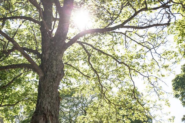 seili puu aurinko