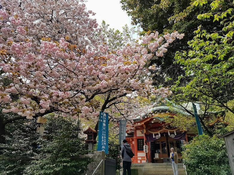 芝東照宮前遇到的櫻花