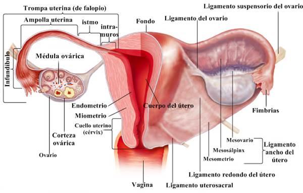 Anatomía de la vagina, útero, trompas de falopio y ovarios