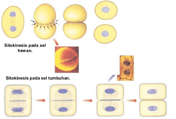 Sitokinesis sel hewan dan tumbuhan