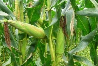 Pengertian dan Contoh Tumbuhan Akar Serabut