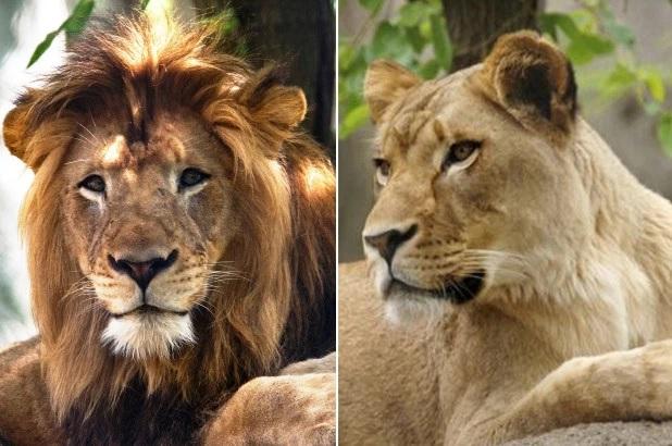 Luanesha vret Luanin e madh në Kopështin Zoologjik