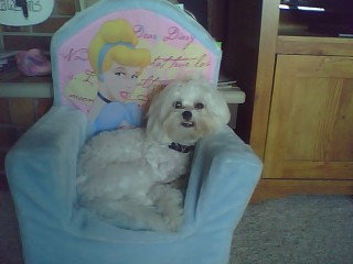 Funny Maltese Poodle Dogs New Images 2012 Funny Animals