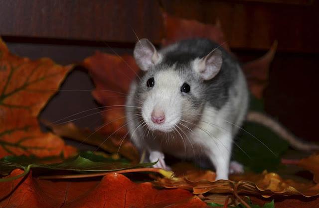 Después de leer este artículo no pensarás igual sobre las ratas