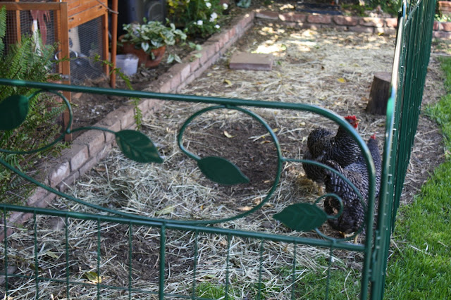 Small chicken coop, barred rock chicken
