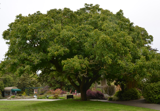 HOW TO GROW THE WALNUT TREE |The Garden of Eaden
