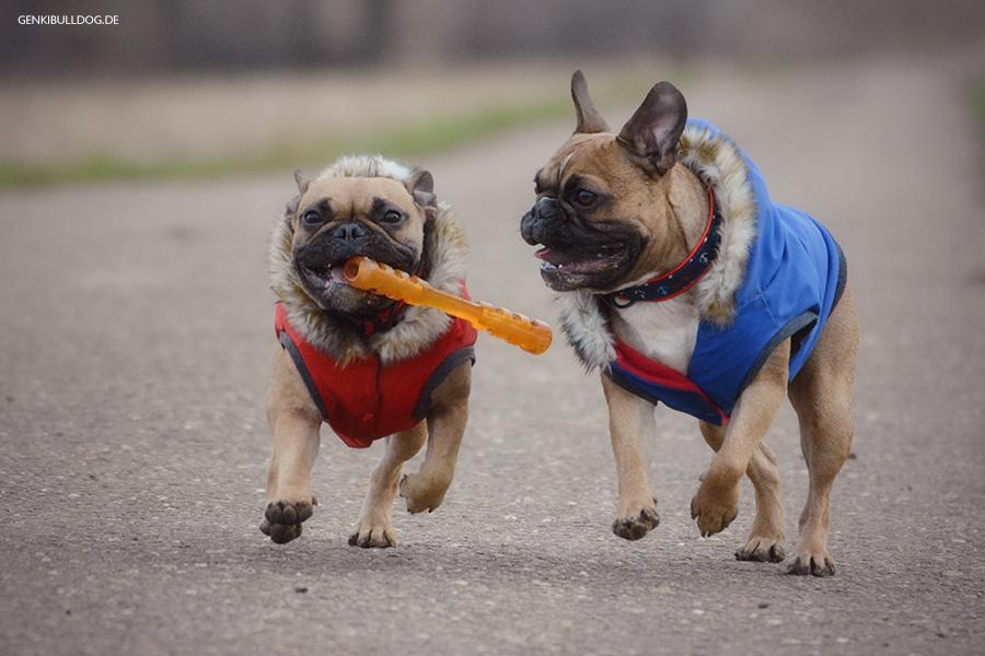 Hundeblog Französische Bulldogge Bully Foto Bilder