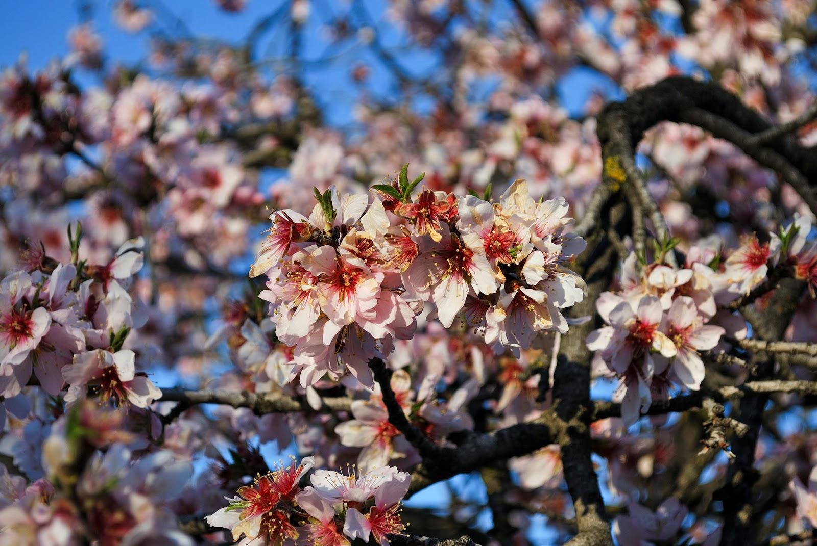 la quinta de los molinos flor floracion almendros madrid bloom blossom