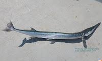 Hound Needlefish
