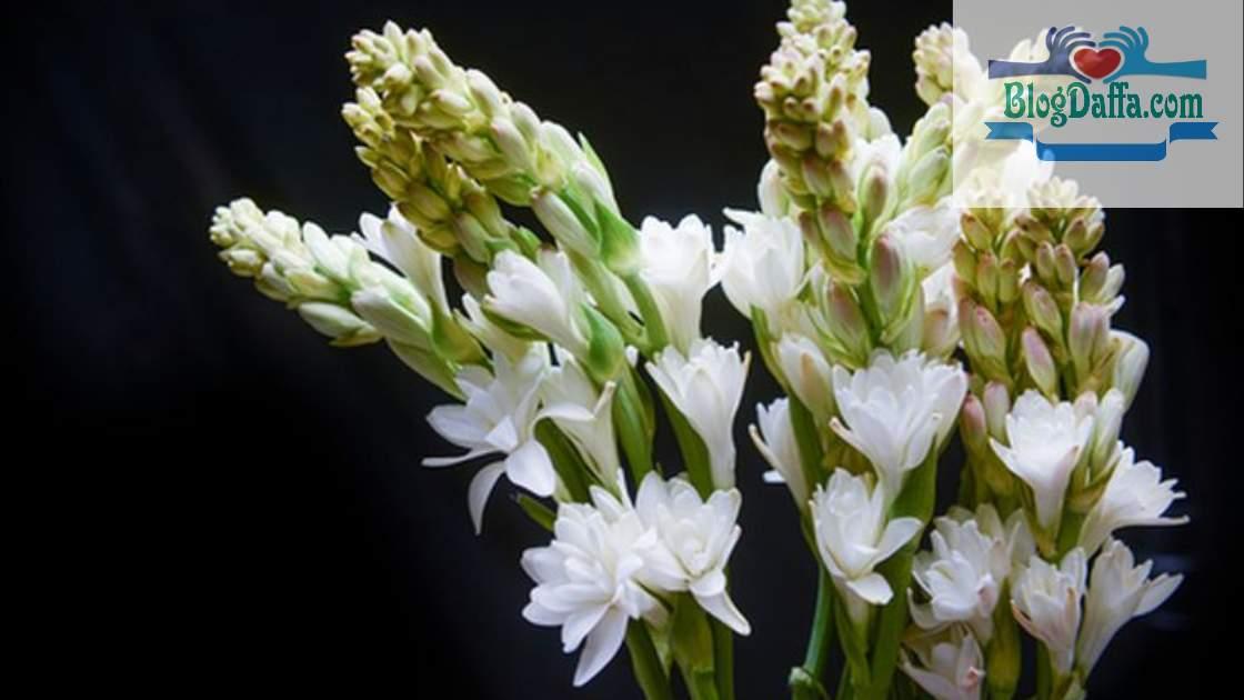 Sedap malam bunga khas Indonesia