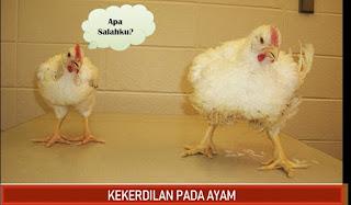 kenapa ayam pedaging tumbuh kecil kerdil