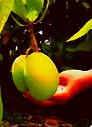Mango Tree Care And Problems Information