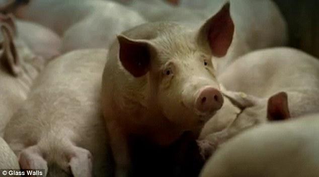 Innalillahi, Ternyata Permen Jelly yang Kenyal Itu Dibuat Dari Dari Kulit Babi, Ini Videonya