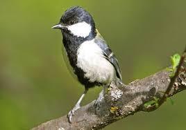 6 Burung Murah Suara Bagus Update Harga Terbaru