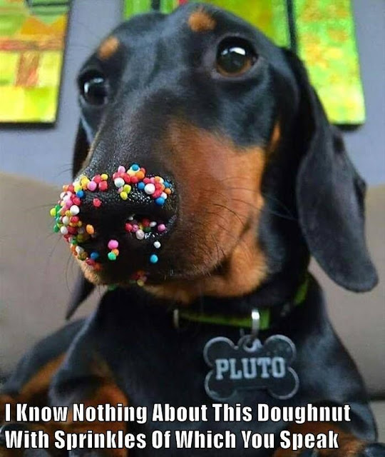 Little dog knows nothing about sprinkle covered donuts. Biped versus Quadruped. marchmatron.com