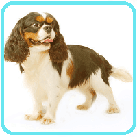 cavalier king charles sporting dog