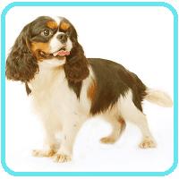 cavalier king charles sporting dog