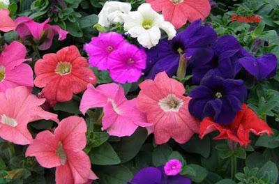 petunia flower, petunia