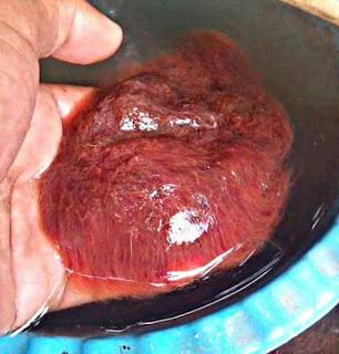 Cacing Makanan Ikan Oscar Cepat Besar