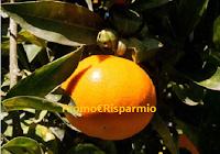 Logo Prova a vincere gratis una cassetta da 20 kg. di agrumi biologici della Sicilia