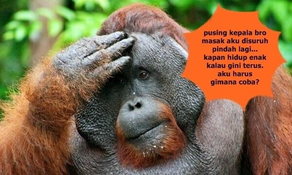 nasib tragis orangutan kalimantan