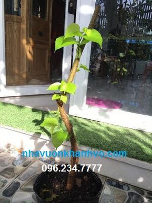 Đăng tin rao vặt: Bạn đã biết cây dâu tằm quả dài Đài Loan??? Dau-dai-loan-dang-ra-trai-nha-vuon-khanh-vo