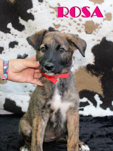 cachorro cruce pastor belga 3