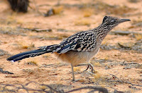 Roadrunner bird pictures