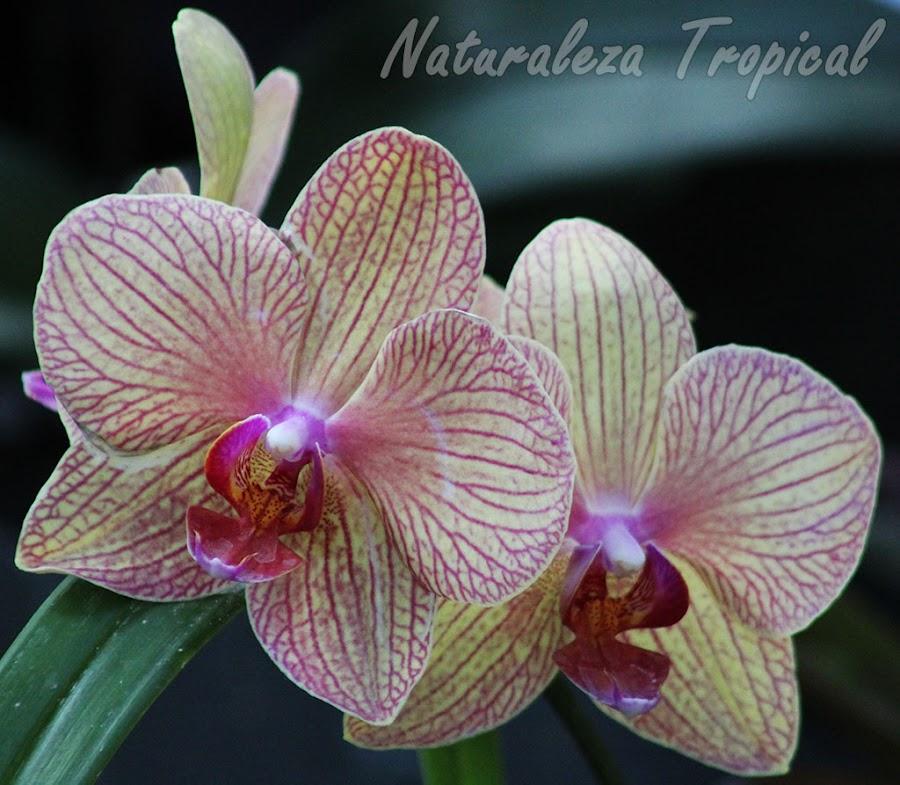 Pétalos y sépalos amarillos blanquecinos con numerosas líneas púrpuras y labelo morado rojizo. Orquídea Mariposa (género Phalaenopsis)