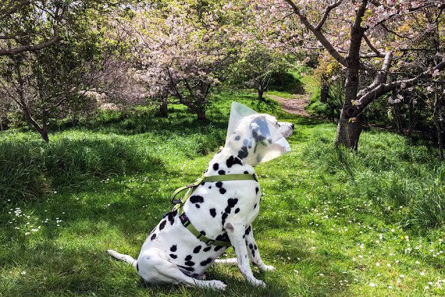 Dalmatian dog wearing a cone and harness sitting on a forest trail