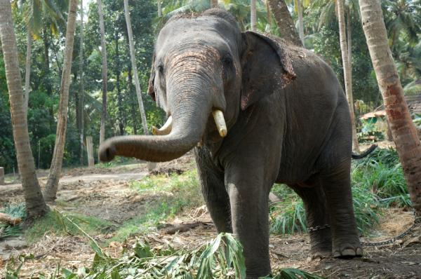 Sumatran Elephant | Endangered Species | Animal Planet |Sumatran Elephant Endangered