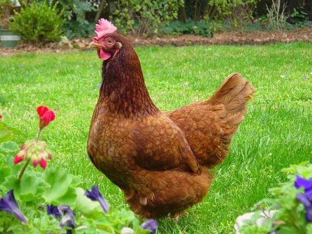 Rhode Island Red Average Egg Laying
