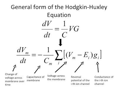 معادلة هودجكن- هيكسلي