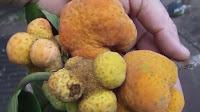 fruit around the world, strange fruit, strange fruit around the world, crazy fruit, crazy fruit around the world, KWAI MUK