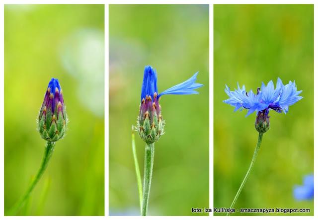 chaber blawatek, modrak, woloszek, macoszka, modrzenczyk, wawer, kwiaty jadalne, lemoniada kwiatowa, napoj blawatkowy, winko chabrowe