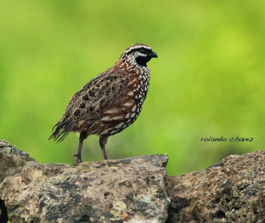 Black throated Bobwhite