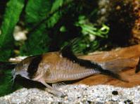 Jenis Ikan Corydoras davidsandsi