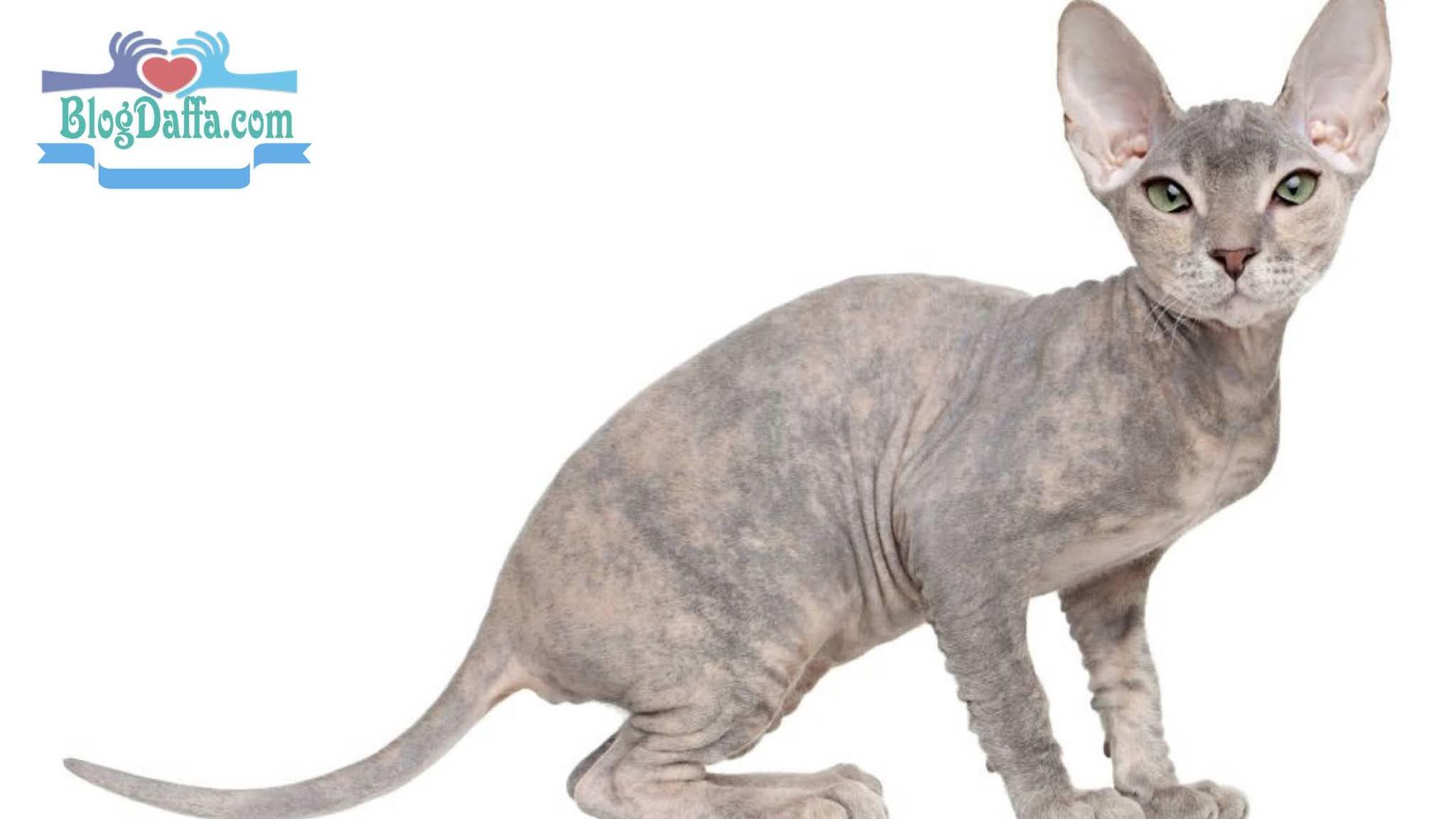 Jenis kucing peterbald