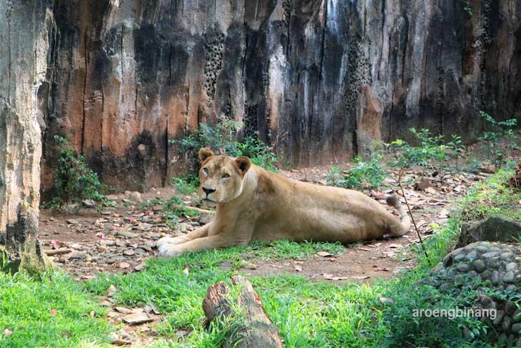 singa afrika kebun binatang ragunan jakarta