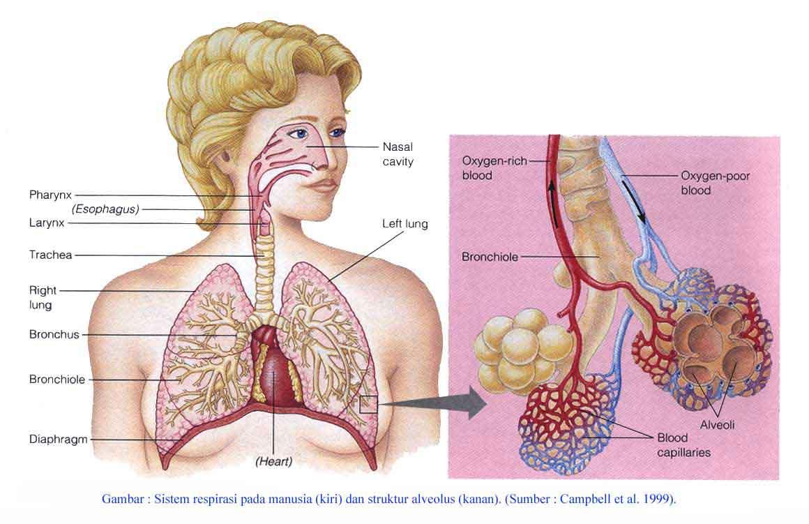 Gambar Sistem Saluran Pernafasan pada manusia
