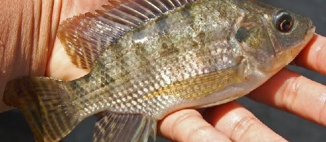 Tahapan Pendederan Ikan Nila dari Awal Hingga Panen